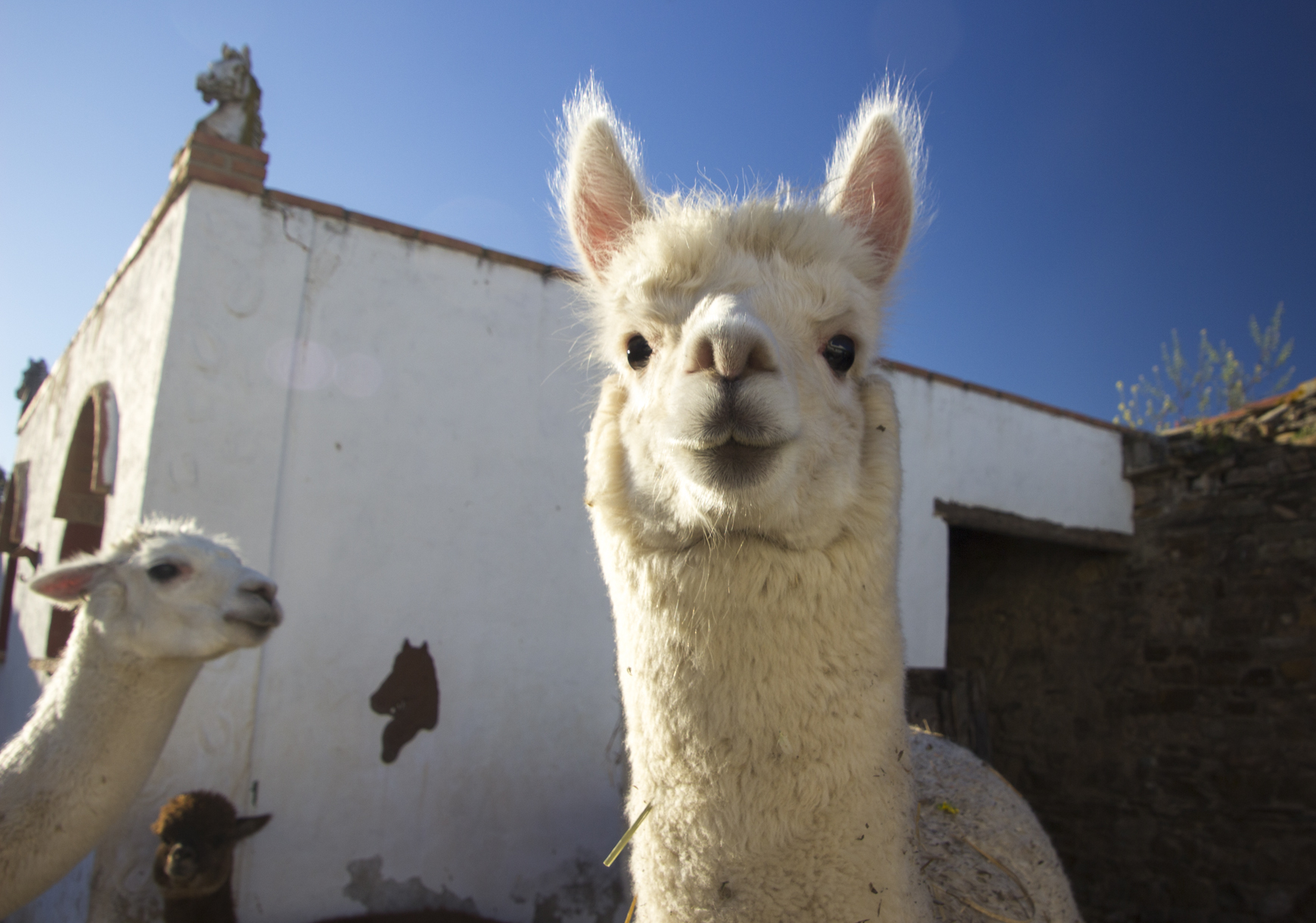 Experience Alpacas in Andalucia